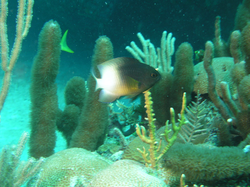 Photo at La Patanita:  Bicolor damselfish