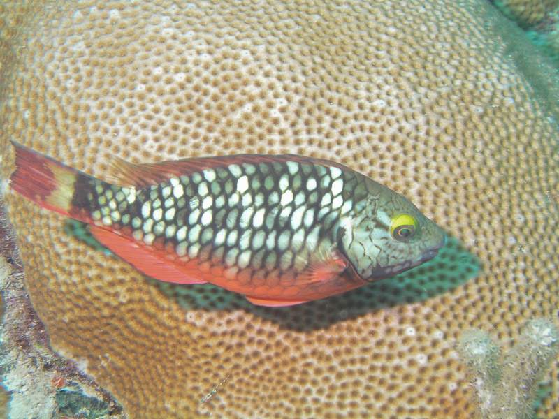 Photo at La Patanita:  Stoplight Parrotfish