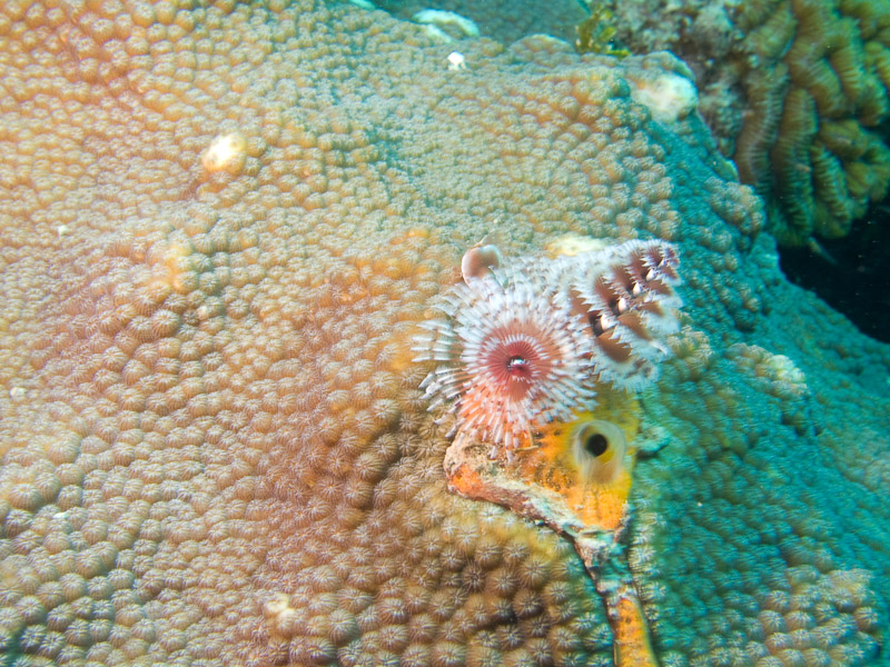 Photo at La Patanita:  Christmas tree worm
