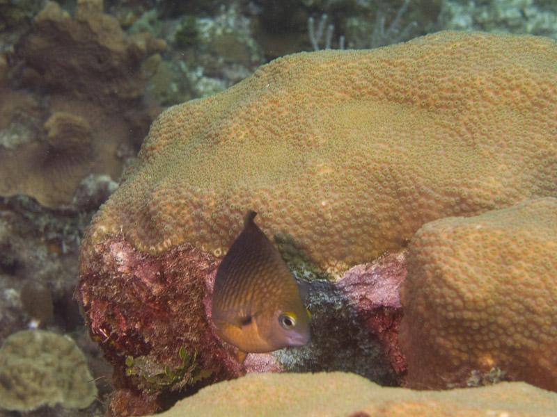 Photo at El Laberinto:  Yellowtail damselfish