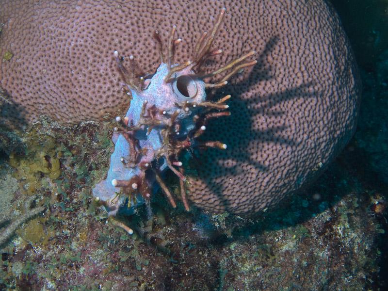 Photo at Coronita:  Tunicate