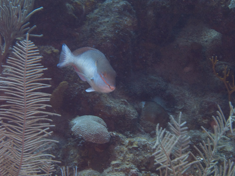 Photo at Coronita:  Redband parrotfish