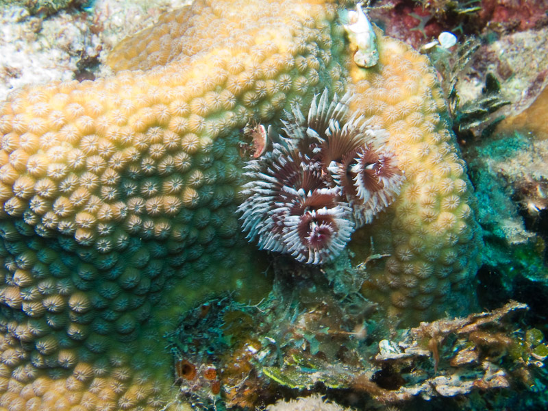 Photo at Faro de Luna:  Christmas tree worm