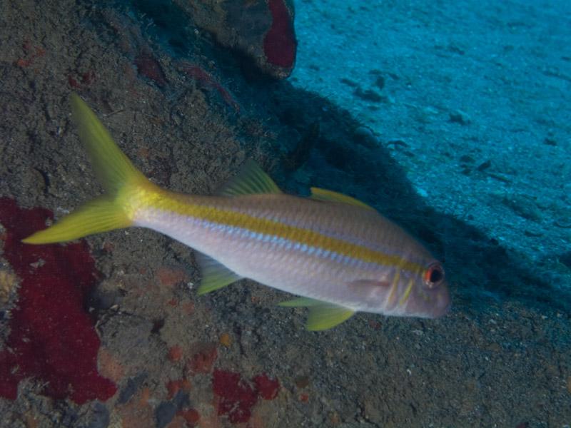 Photo at Camaronero II:  Yellow goatfish