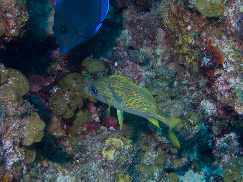 Photo at Punta Gavilanes:  Blue tang surgeonfish,French grunt