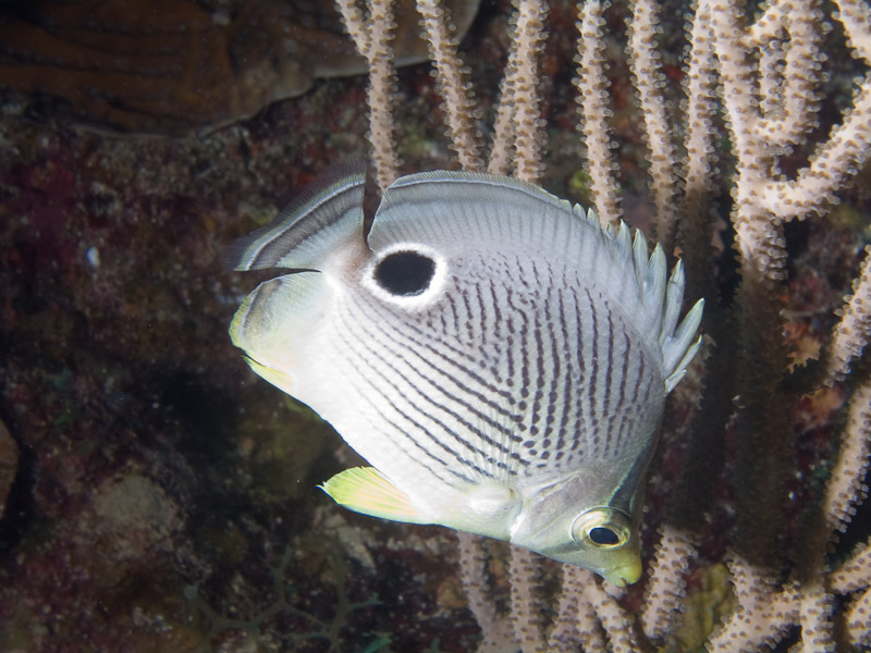 Photo at Punta Gavilanes:  Foureye butterflyfish