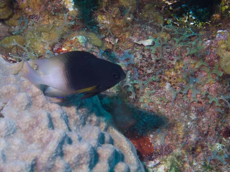 Photo at Punta Gavilanes:  Bicolor damselfish