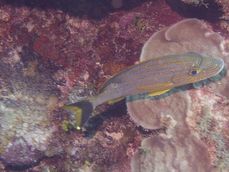 Photo at La Patana:  Bluestriped grunt