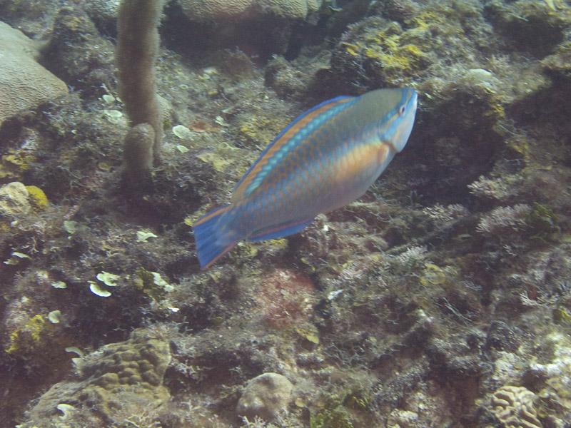Photo at La Patana:  Princess parrotfish