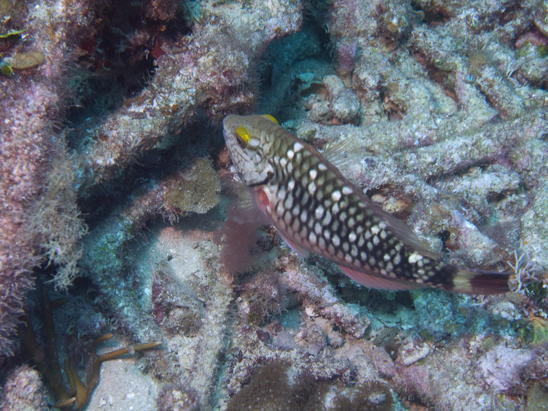 Photo at La Patana:  Stoplight Parrotfish