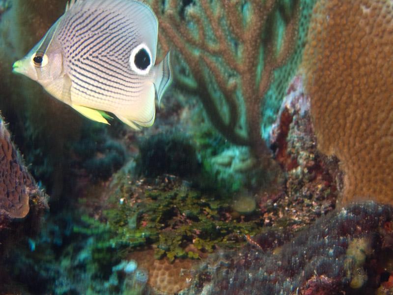 Photo at La Patana:  Foureye butterflyfish