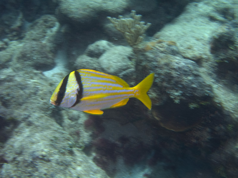 Photo at La Patana:  Porkfish
