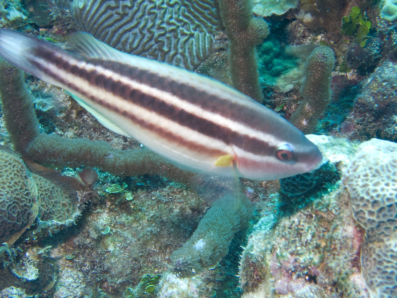Photo at La Patana:  Striped parrotfish