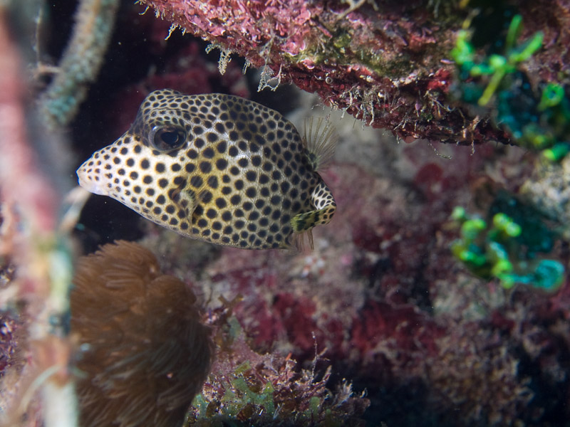 Photo at La Patana:  Spotted Trunkfish