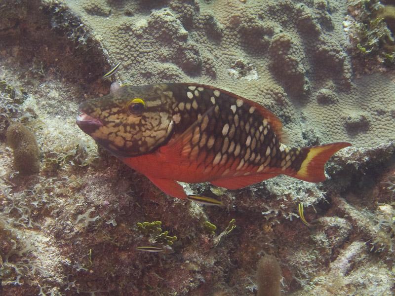 Photo at La Patana:  Stoplight Parrotfish