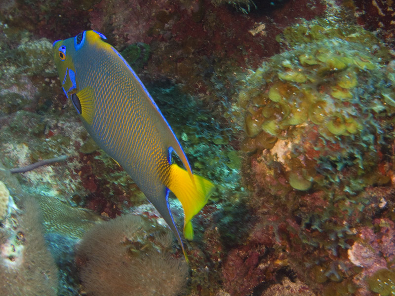 Photo at Off-Limits:  Queen Angelfish