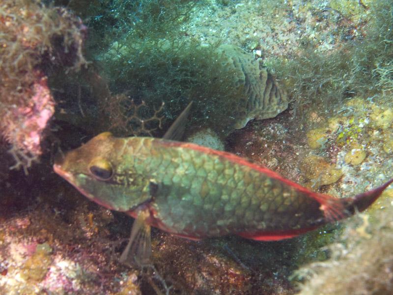 Photo at Magic Kingdom (12):  Redtail parrotfish