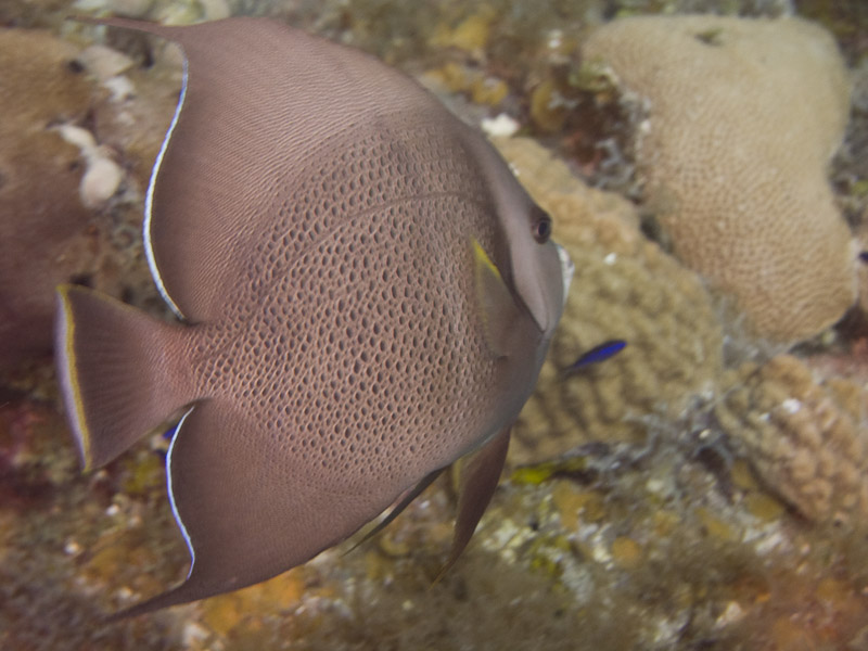 Photo at Golden Valley (55):  Gray angelfish