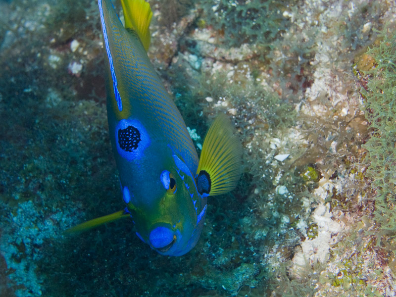 Photo at Golden Valley (55):  Queen Angelfish