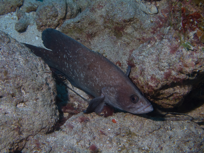 Photo at Golden Valley (55):  Greater soapfish