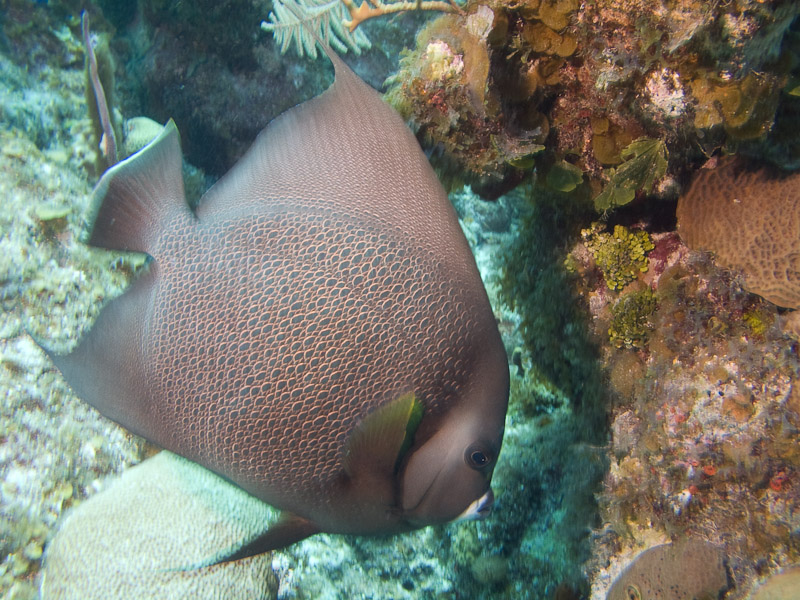 Photo at Golden Valley (55):  Gray angelfish