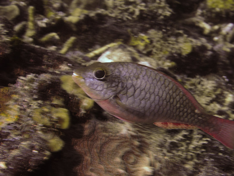 Photo at Golden Valley (55):  Redtail parrotfish