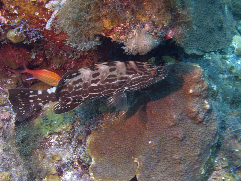 Photo at Hidden Passage (14):  Black grouper