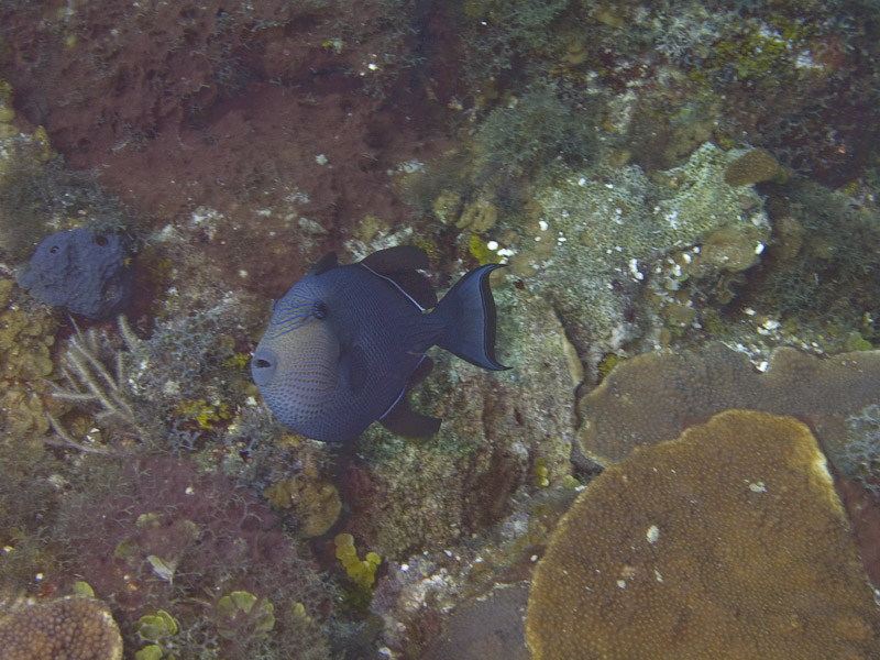 Photo at Hidden Passage (14):  Black triggerfish
