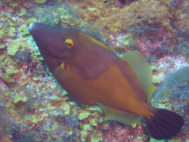 Photo at Black Coral Wall (1):  American whitespotted filefish