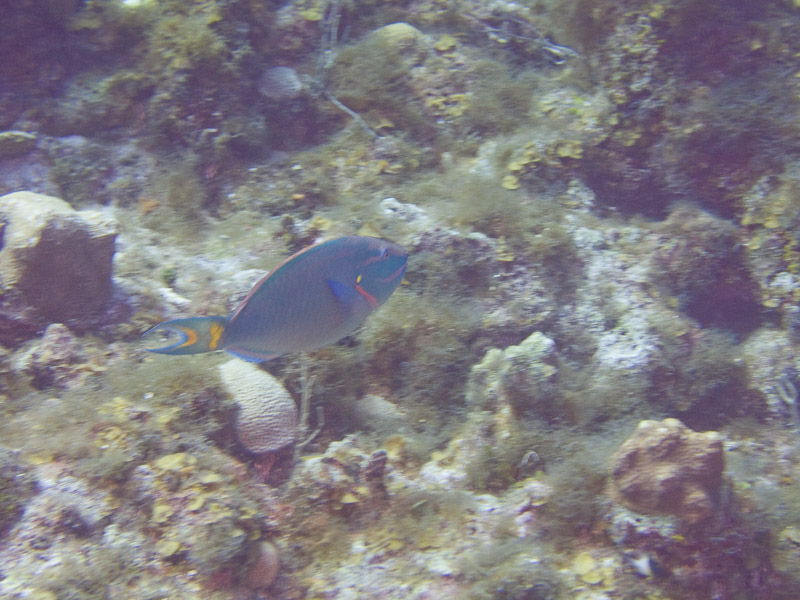 Photo at Black Coral Wall (1):  Parrotfish