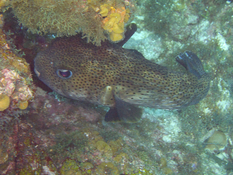 Photo at Black Coral Wall (1):  Spot-fin porcupinefish ('Balloonfish')