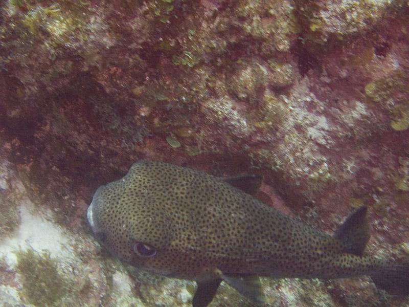 Photo at Black Coral Wall (1):  Spot-fin porcupinefish ('Balloonfish')