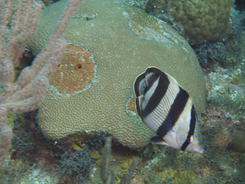Photo at Angel Fish Peak (51):  Banded butterflyfish