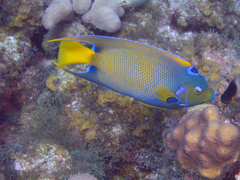 Photo at Angel Fish Peak (51):  Queen Angelfish