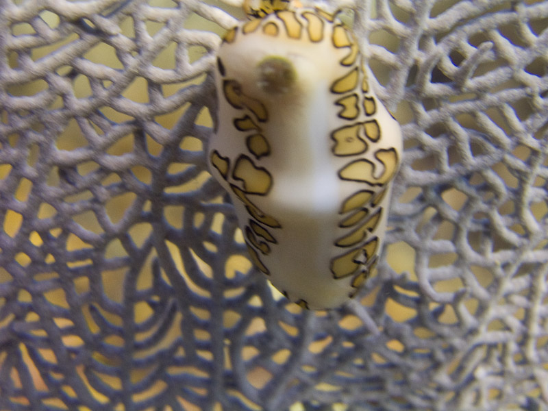 Photo at Angel Fish Peak (51):  Flamingo Tongue