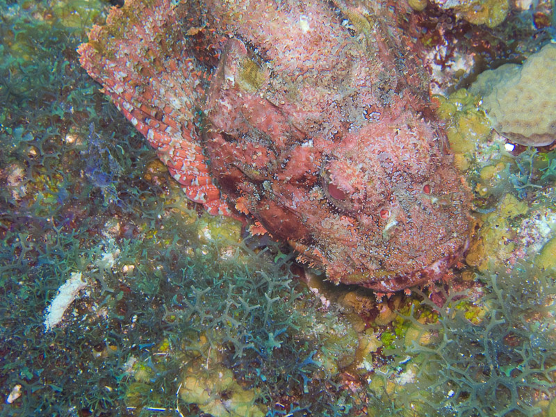 Photo at Angel Fish Peak (51):  Scorpionfish
