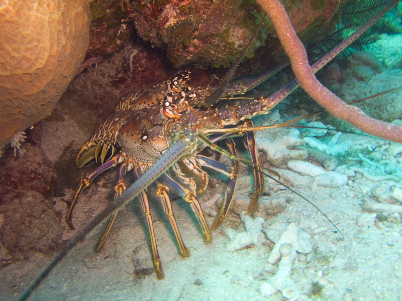 Photo at Angel Fish Peak (51):  Lobster