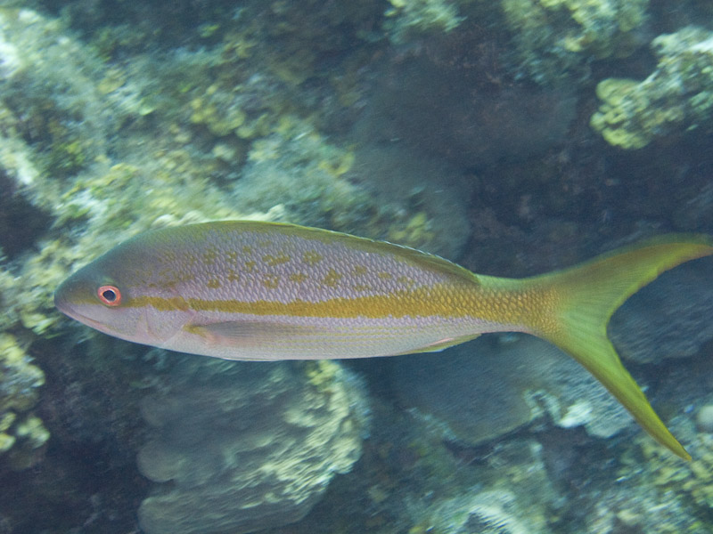 Photo at Muke's Paradise:  Yellowtail snapper