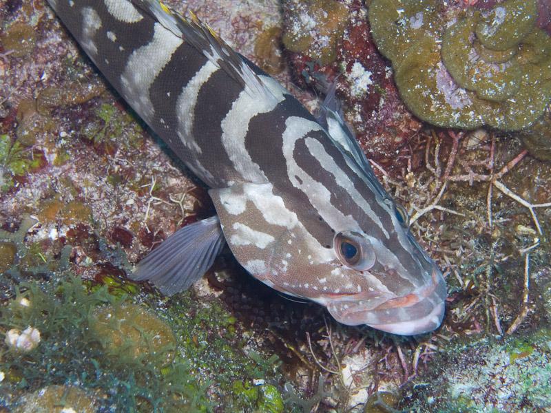 Photo at Muke's Paradise:  Nassau grouper