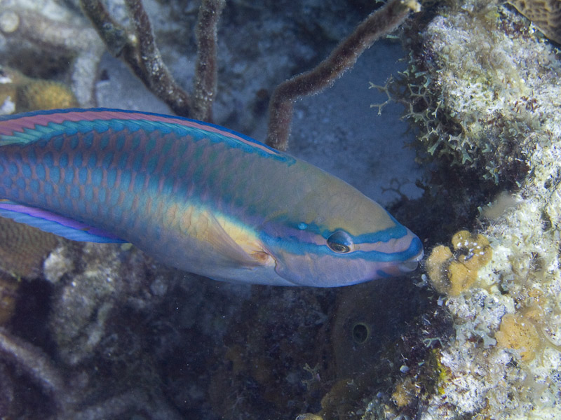 Photo at Muke's Paradise:  Princess parrotfish