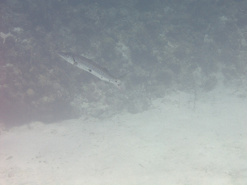 Photo at Muke's Paradise:  Great barracuda