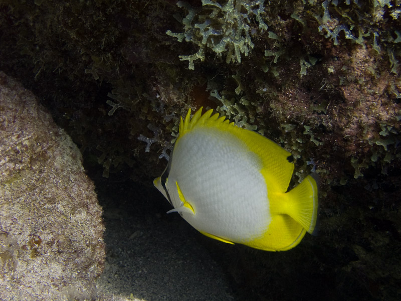 Photo at :  Spotfin butterflyfish