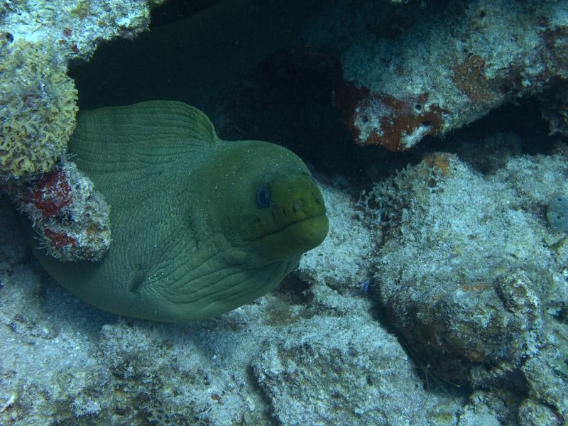Photo at :  Green moray