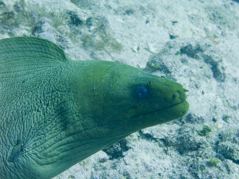Photo at :  Green moray