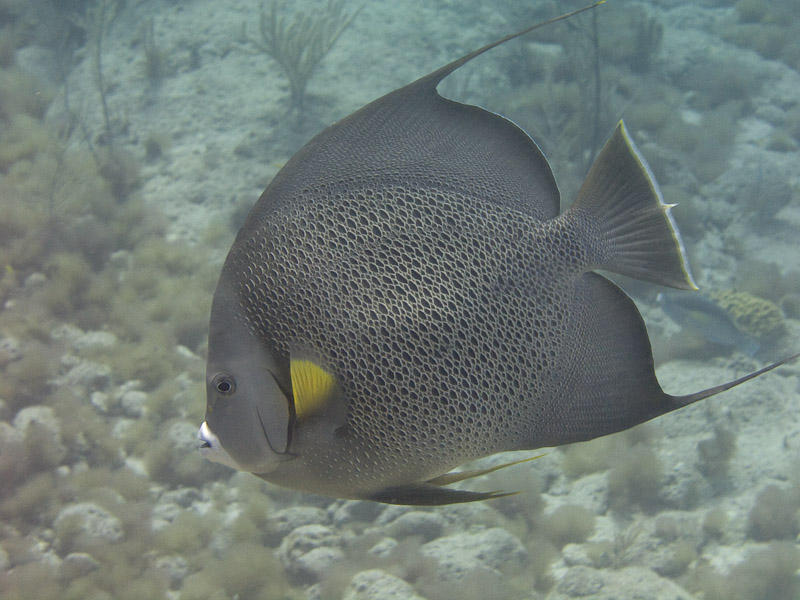 Photo at :  Gray angelfish