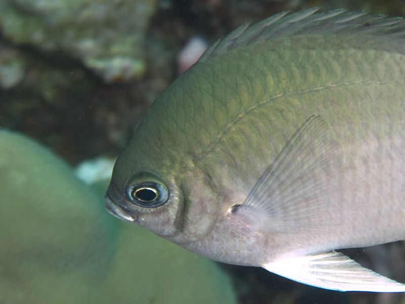 Photo at Islands:  Pale Damselfish