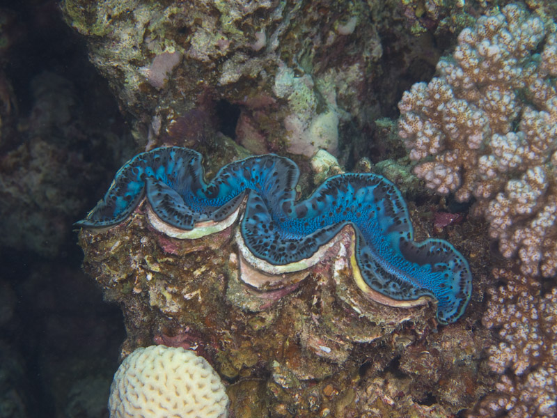 Photo at Islands:  Giant Clam