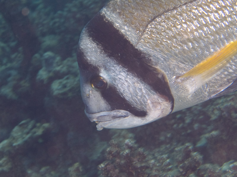 Photo at Islands:  Twobar seabream