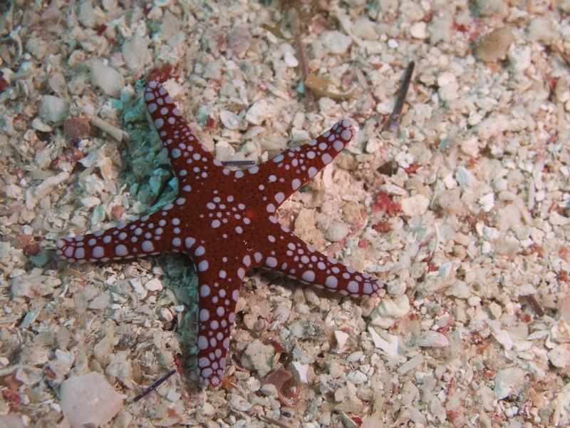 Photo at Islands:  Ghardaqa Sea Star