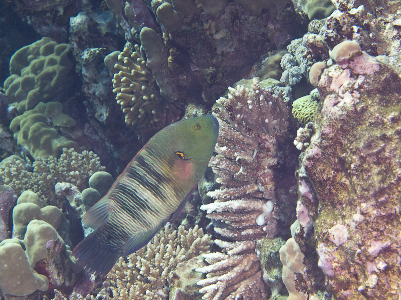 Photo at Islands:  Broomtail wrasse